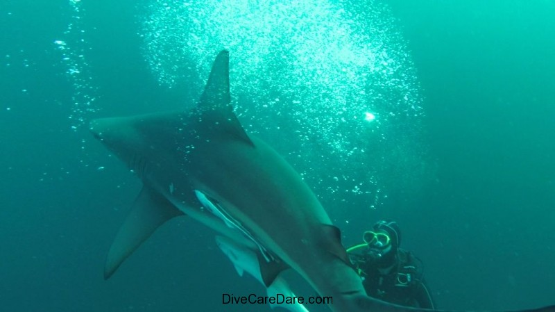 Aliwal Dive Centre-shark and diver