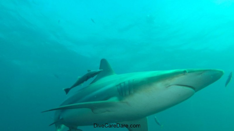 Aliwal Dive Centre-shark