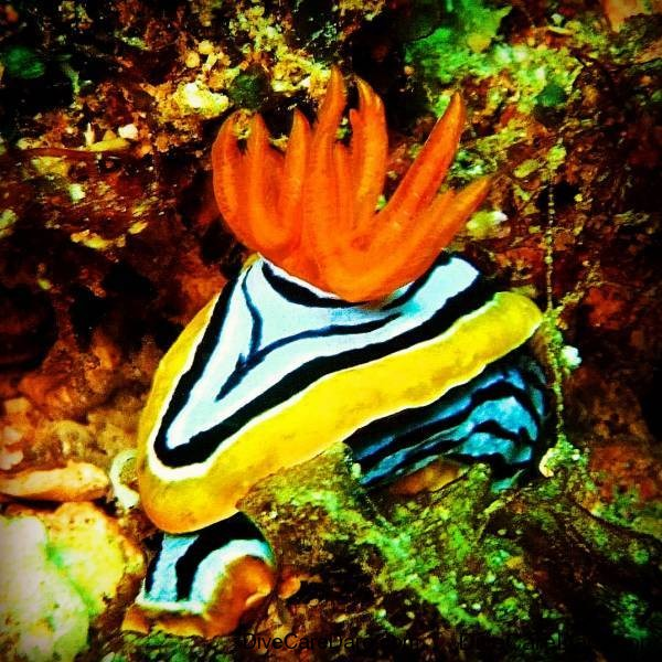 Nudibranch - Photographer TonyIsaacson