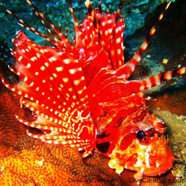 Lionfish - Photographer TonyIsaacson