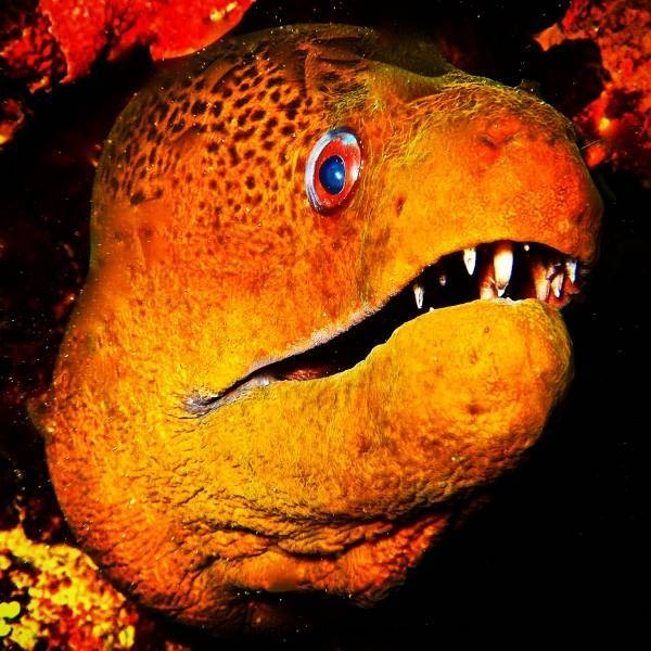 Moray Eel - Photographer TonyIsaacson