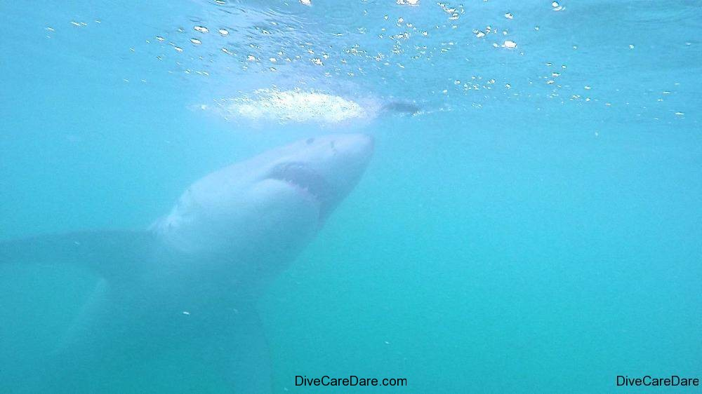 Great White Shark Tours Gansbaai South Africa caged diving 10