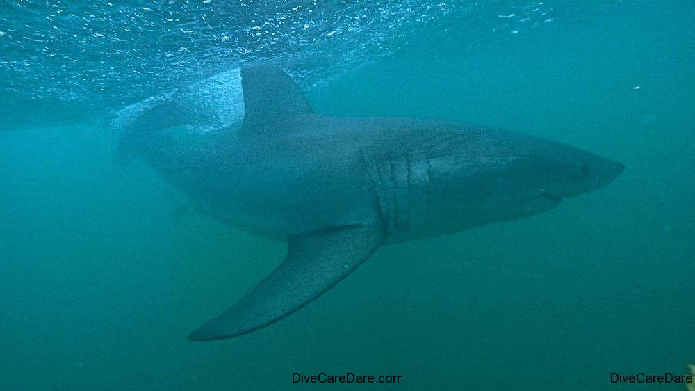 Great White Shark Tours Gansbaai South Africa caged diving 19