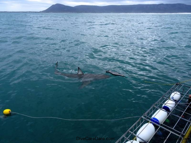 Great White Shark Tours Gansbaai South Africa caged diving  2