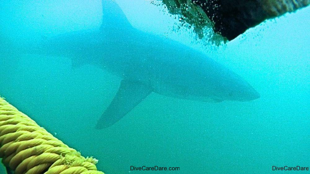 Great White Shark Tours Gansbaai South Africa caged diving 27