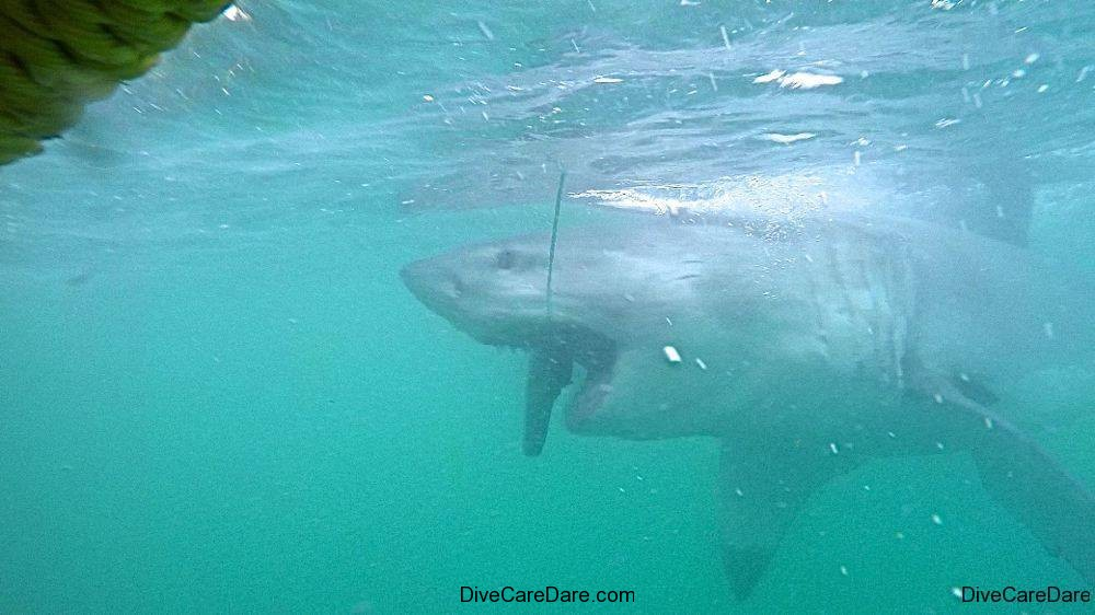 Great White Shark Tours Gansbaai South Africa caged diving  8
