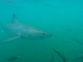 Great White Shark Tours Gansbaai South Africa caged diving 13