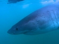 Great White Shark Tours Gansbaai South Africa caged diving 15