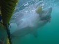 Great White Shark Tours Gansbaai South Africa caged diving 17