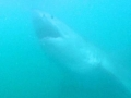 Great White Shark Tours Gansbaai South Africa caged diving 20