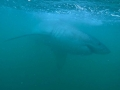 Great White Shark Tours Gansbaai South Africa caged diving 25