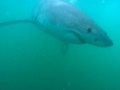Great White Shark Tours Gansbaai South Africa caged diving 28