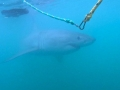 Great White Shark Tours Gansbaai South Africa caged diving 29