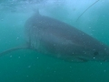 Great White Shark Tours Gansbaai South Africa caged diving  9