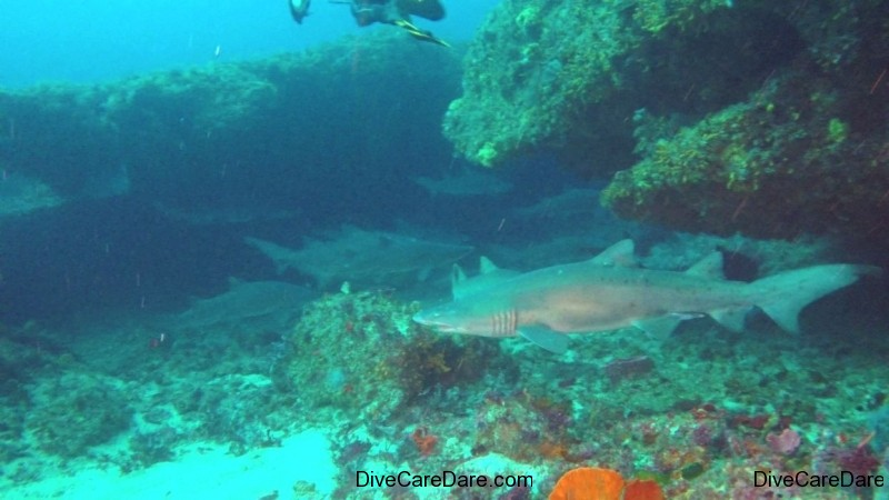 African Dive Adventures Protea Banks baited and non baited shark diving-grey nurse on floor with others