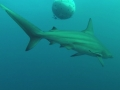 African Dive Adventures Protea Banks baited and non baited shark diving